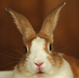 Conejo de conejito Imágenes de archivo libres de regalías