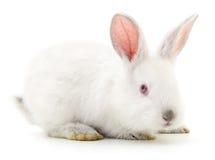Conejo de conejito blanco Imágenes de archivo libres de regalías