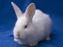 Conejo de conejito de pascua Foto de archivo