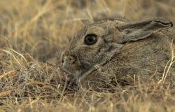 Conejo de conejito del conejo de rabo blanco en el salvaje Fotos de archivo