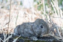 Conejo de conejito del conejo de rabo blanco que come la hierba Imagenes de archivo
