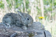 Conejo de conejito del conejo de rabo blanco que come la hierba Fotografía de archivo libre de regalías