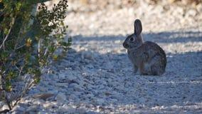 Conejo de conejito grande de la curva de Tejas en la trayectoria almacen de metraje de vídeo