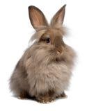 Conejo de conejito lindo del lionhead del chocolate que se sienta fotos de archivo libres de regalías