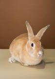 Conejo de conejito lindo que presenta en un estudio contra una crema y una pared marrón Imagen de archivo
