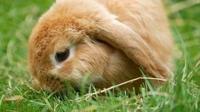 Conejo de conejito mullido del marrón del primer que come la hierba