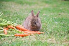 Conejo de conejito que come la zanahoria imagenes de archivo