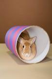 Conejo de conejito que presenta en un tubo en un estudio contra una crema y un ajuste marrón Imagen de archivo