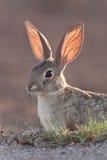Conejo de conejo de rabo blanco Fotografía de archivo libre de regalías
