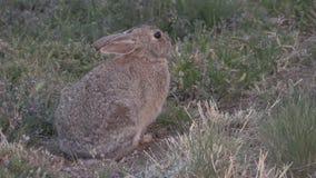 Conejo de conejo de rabo blanco almacen de video
