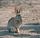Conejo de conejo de rabo blanco #5 Fotos de archivo libres de regalías