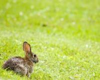 Conejo de conejo de rabo blanco Imagen de archivo libre de regalías