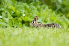 Conejo de conejo de rabo blanco Imágenes de archivo libres de regalías