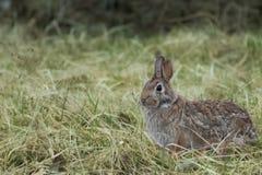 Conejo de conejo de rabo blanco foto de archivo