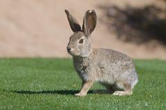 Conejo de conejo de rabo blanco del desierto Fotografía de archivo libre de regalías