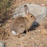 Conejo de conejo de rabo blanco del desierto Imagenes de archivo