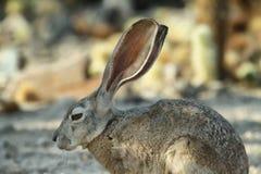 Conejo de conejo de rabo blanco del desierto en Joshua Tree National Park, Fotos de archivo libres de regalías