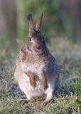 Conejo de conejo de rabo blanco del este Imágenes de archivo libres de regalías