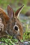 Conejo de conejo de rabo blanco del este Fotografía de archivo