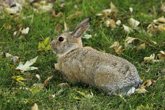 Conejo de conejo de rabo blanco del este Fotos de archivo libres de regalías