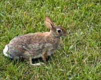 Conejo de conejo de rabo blanco del este Imagen de archivo libre de regalías