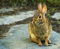 Conejo de conejo de rabo blanco del este Imagen de archivo