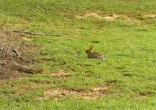 Conejo de conejo de rabo blanco del este en un campo Imágenes de archivo libres de regalías