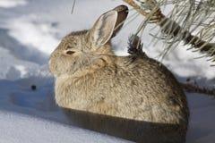 Conejo de conejo de rabo blanco en nieve Imágenes de archivo libres de regalías