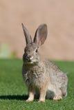 Conejo de conejo de rabo blanco feliz del desierto Imágenes de archivo libres de regalías