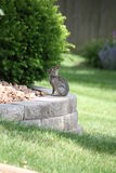 Conejo de conejo de rabo blanco joven. Imagen de archivo libre de regalías