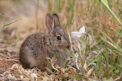 Conejo de conejo de rabo blanco joven Fotografía de archivo libre de regalías