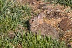 Conejo de conejo de rabo blanco joven en hierba Foto de archivo libre de regalías