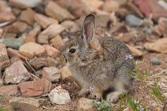 Conejo de conejo de rabo blanco joven lindo Fotografía de archivo libre de regalías
