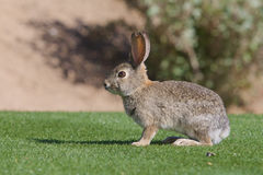 Conejo de conejo de rabo blanco lindo del desierto Imagenes de archivo