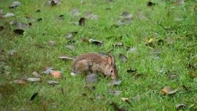 Conejo de conejo de rabo blanco que hojea almacen de video