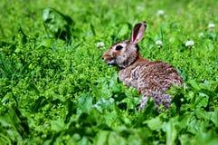 Conejo de conejo de rabo blanco salvaje Imagenes de archivo