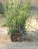 Conejo de conejo de rabo blanco - Sylvilagus Imagen de archivo libre de regalías