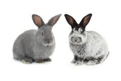 Conejo de dos grises fotografía de archivo
