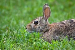 Conejo de Gato en la hierba Imagen de archivo libre de regalías