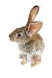 Conejo de la Feliz Año Nuevo Imagen de archivo