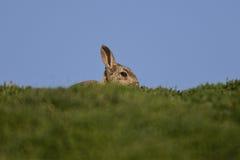Conejo de la isla de Skokholm en el horizonte Imágenes de archivo libres de regalías