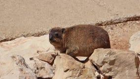 Conejo de la montaña que se sienta entre las rocas en Rosh Hanikra metrajes