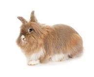 Conejo de Lionhead. Fotos de archivo