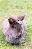 Conejo de Lionhead Fotos de archivo