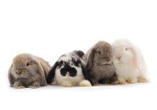 Conejo de orejas ca3idas Foto de archivo libre de regalías