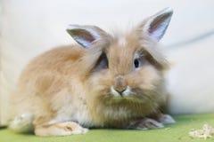 Conejo de oro que se sienta en el sofá, animal doméstico domesticado, anticipando conveniente para los niños Fotografía de archivo