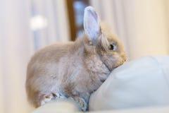 Conejo de oro que se sienta en el sofá, animal doméstico domesticado, anticipando conveniente para los niños Fotos de archivo libres de regalías