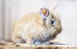 Conejo de oro que se sienta en el sofá, animal doméstico domesticado, anticipando conveniente para los niños Imagen de archivo libre de regalías