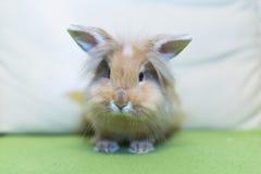Conejo de oro que se sienta en el sofá, animal doméstico domesticado, anticipando conveniente para los niños Imagenes de archivo