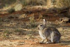 Conejo de rabo blanco del desierto, audubonii del Sylvilagus Foto de archivo